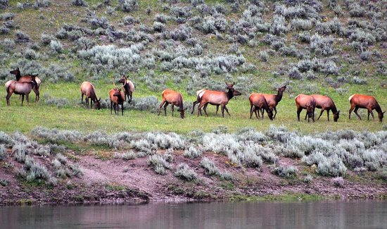 Canyon Lodge and Cabins: Elk in Hayden Valley