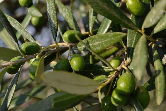 La Valle a Polvereto: Olives glistening in Tuscan sun.