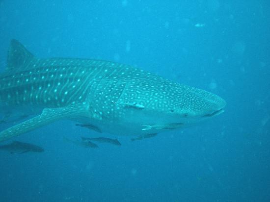 CSI: SAMUI Dive School : Requin Baleine