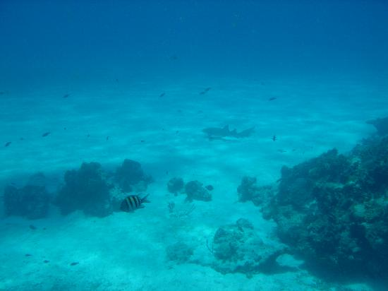 Pro Dive Mexico: A Reef Shark