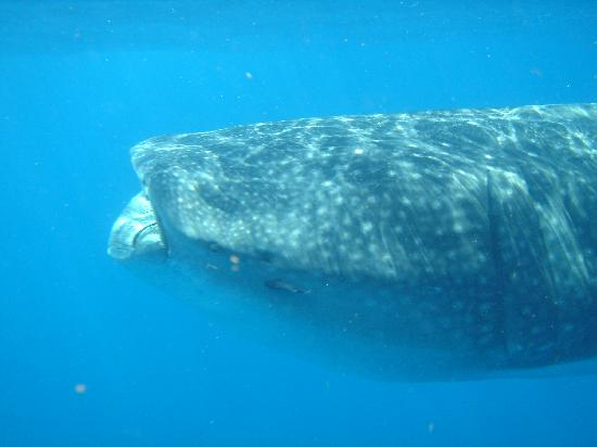 Pro Dive Mexico: Up Close with a Whale Shark