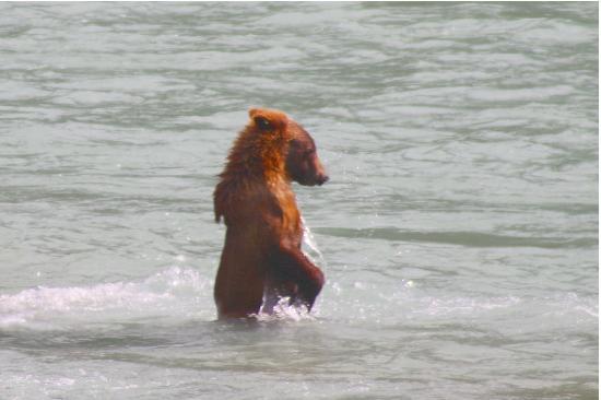Haines, AK: Baby Bear