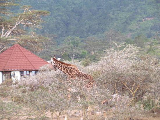 Hatari Lodge: Giraffe at lodge
