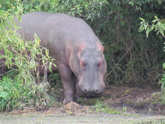 Hatari Lodge: hippo