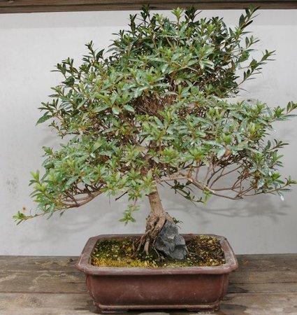 bonsai einer von vielen picture of japanese bonsai garden japanischer bonsaigarten ferch. Black Bedroom Furniture Sets. Home Design Ideas