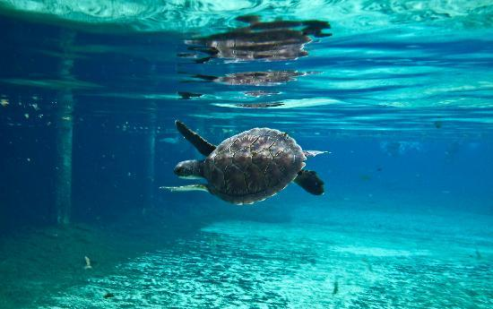 West Bay, Grand Cayman: swimming with a turtle