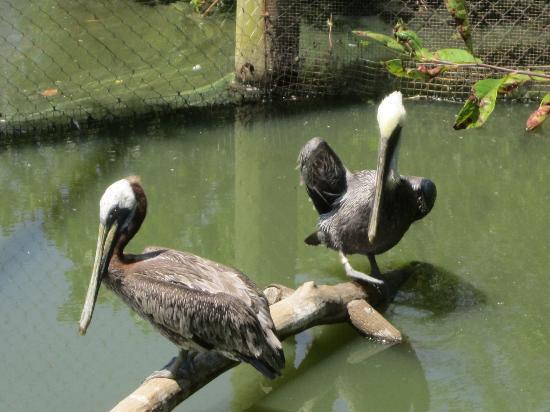 Newport News, VA: Pelican