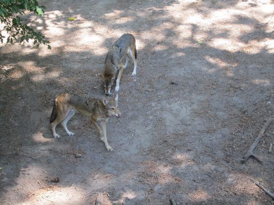 Newport News, VA: Red Wolf feeding