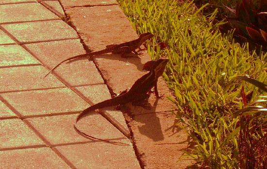 Grand Sirenis Riviera Maya Resort & Spa: Basilisk lizards -- just some of the interesting wildlife on the hotel property
