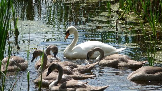 The Tranquil Otter: Visit from Swan and cygnets