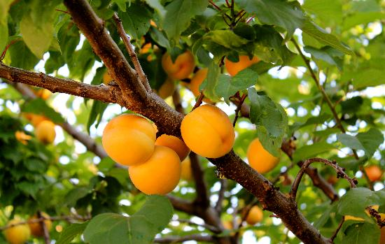 La Grande Quercia Bed & Breakfast: gorgeous apricots