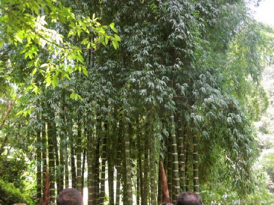 Utuado, เปอร์โตริโก: Bamboo!!