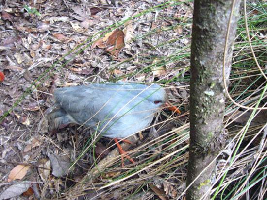 Yate, كاليدونيا الجديدة: 野生のカグーに遇えます(確実ではありませんが)