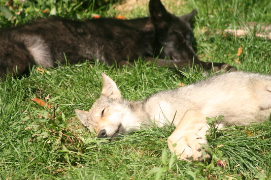 Haliburton, Kanada: The adorable pups were dozing in the sun.
