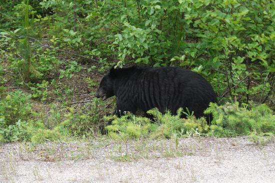 Nakiska Ranch: black bear