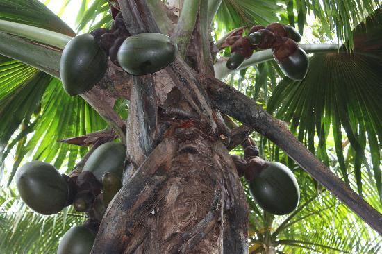 Остров Праслен, Сейшельские острова: Female Coco de Mer plant