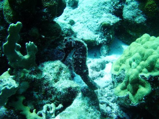 Coral Paradise Resort: Nice Seahorse!
