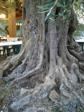Agriturismo Osteria Pane e vino: olivo del giardino