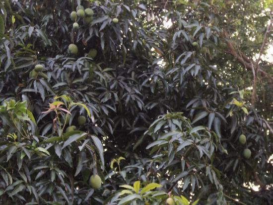 Tamil Nadu, Indien: Mangoes