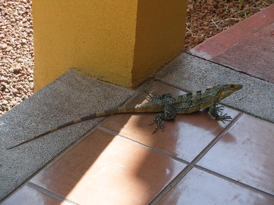 Allegro Papagayo: One of the many iguanas we saw