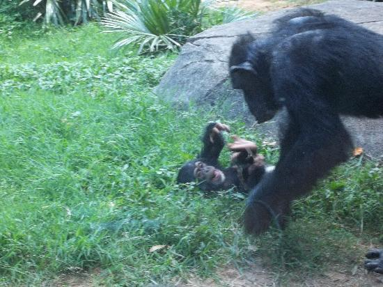 Asheboro, Karolina Północna: The baby chimp really put on a show for us