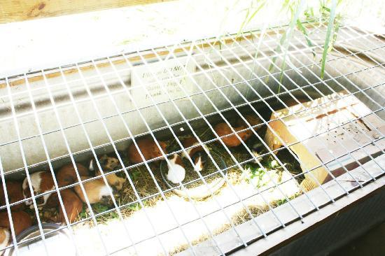 Natural Bridge Zoo : 30+ guinea pigs for sale for $20, their water bowl had feces in it, and they were overheated and