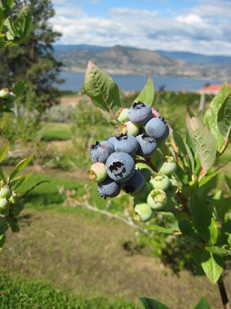Sutherland Blueberry Bed & Breakfast: Yummy Blueberries