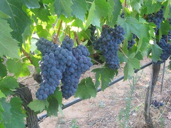 Azienda Agricola Leda' d'Ittiri: Grapes