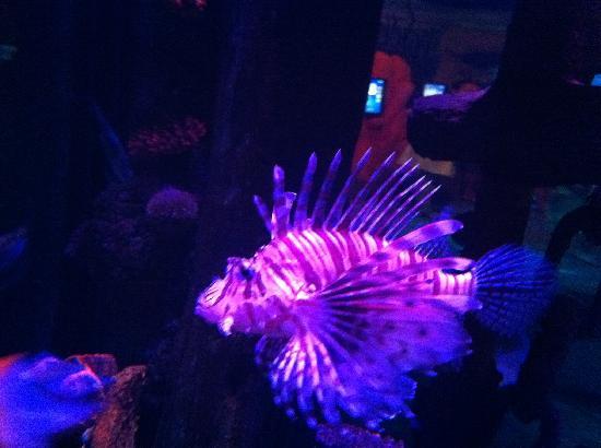 Lido di Jesolo Sea Life Aquarium : Pesce Scorpione