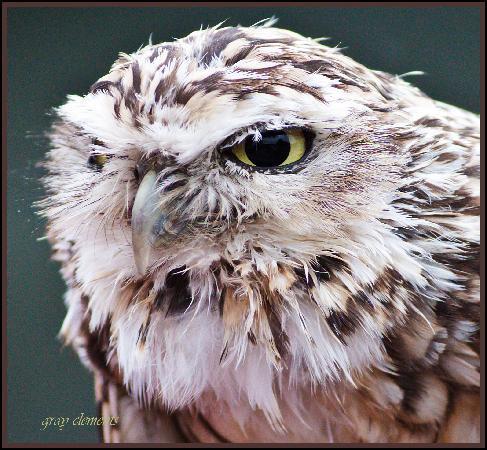 Screech Owl Sanctuary: owls at screech