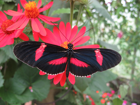 The North Somerset Butterfly House: Heliconius butterfly feeding