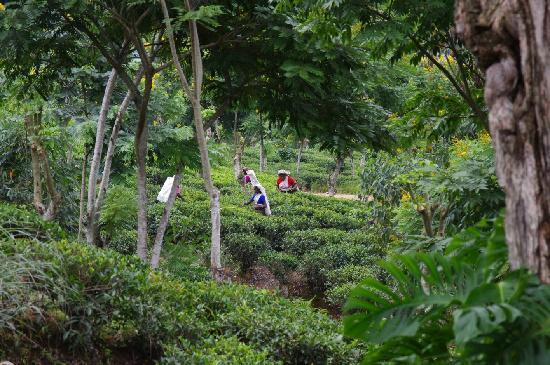 Ceylon Tea Trails: Tea pickers on the trail