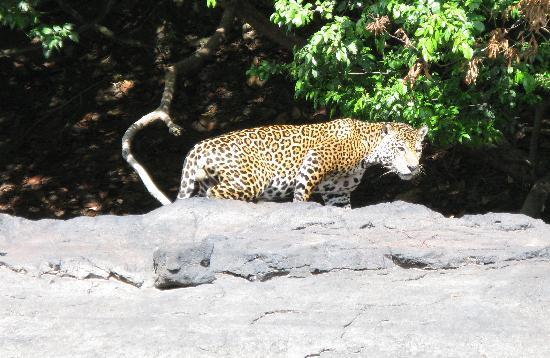 Kabalebo Nature Resort : A Jaguar!! Very rare.