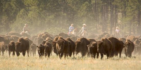 South Dakota: Custer State Park Buffalo Roundup