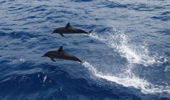 Calypso Reef Cruises : Dolphins playing next to the boat!!