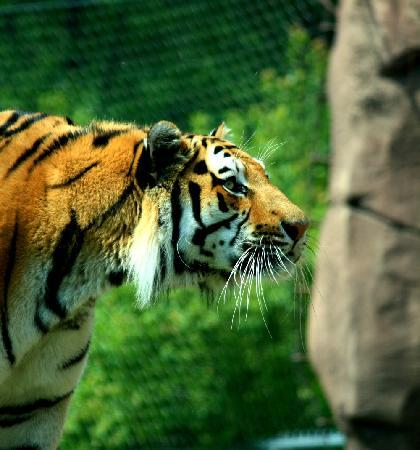 Lake Superior Zoo & Zoological Society: Tiger