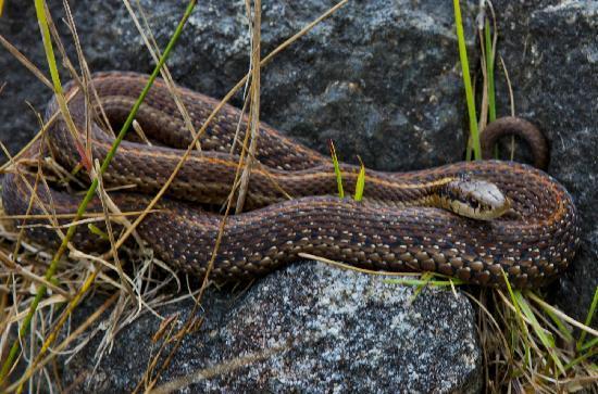 Grizzly Bear Lodge & Safari: Garter snakes sun themselves on the island