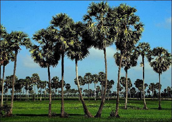 The Prohm Roth Inn: Sugar Palm trees