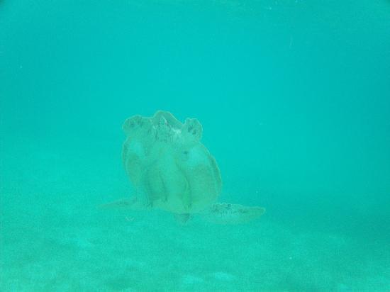 Akumal Beach: Amazing Turtles - fish hitching a ride