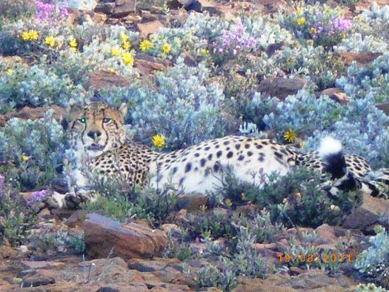 Montagu, South Africa: Cheetah resting in Karoo succulents