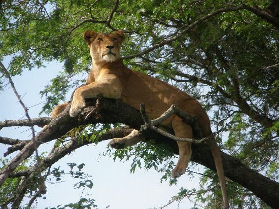 Oeganda: Ishasha tree climbing lions