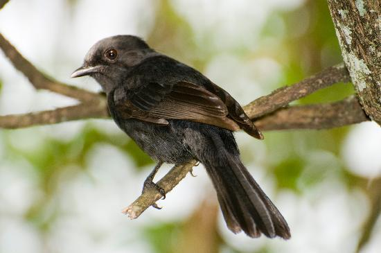 Uganda: African Dusty flycatcher