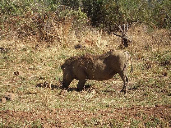 Golden Leopard Resort - Manyane: Wart hog