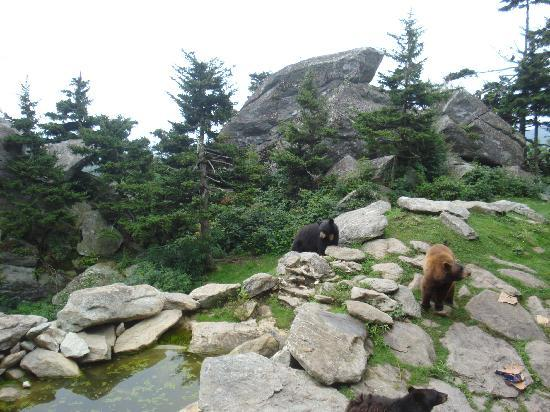 Grandfather Mountain: Bears