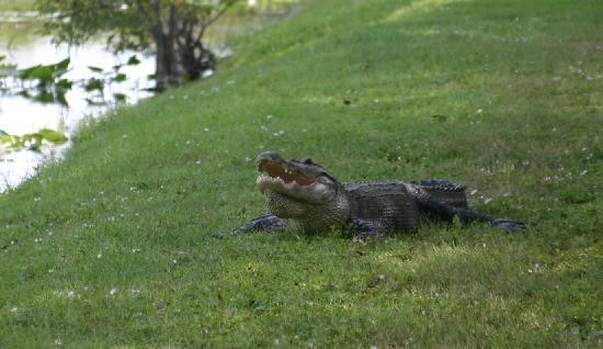Delray Beach, FL: Alligator