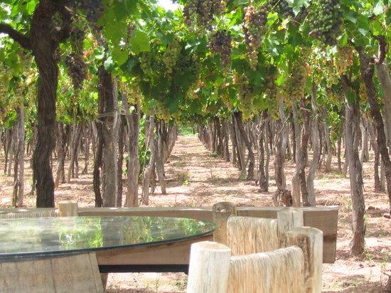 Conalbi Grinberg Casa Vinicola: Wine tasting under the vines...awsome