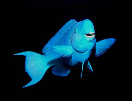 Blue parrot fish picture of native sons dive shop west for What kind of fish does captain d s use