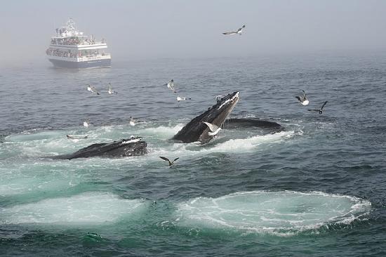 Dolphin Fleet Whale Watch: Whales feeding