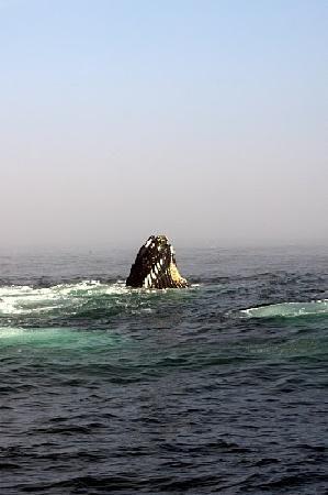 Dolphin Fleet Whale Watch: humpback