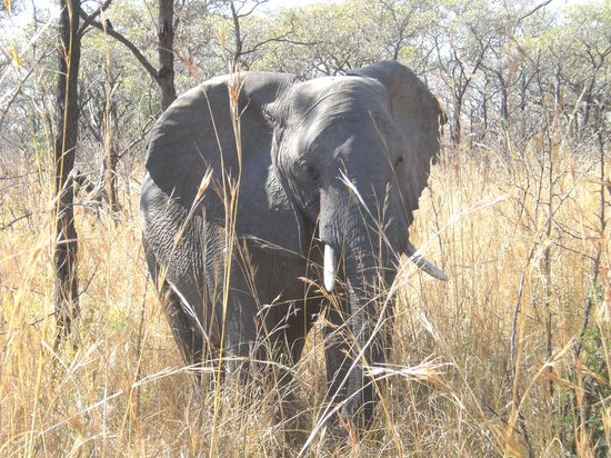 Modimolle (Nylstroom), Zuid-Afrika: our first elephant!